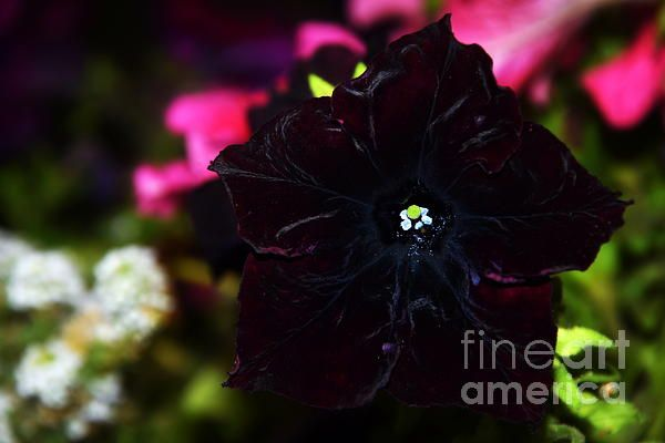 Black petunia