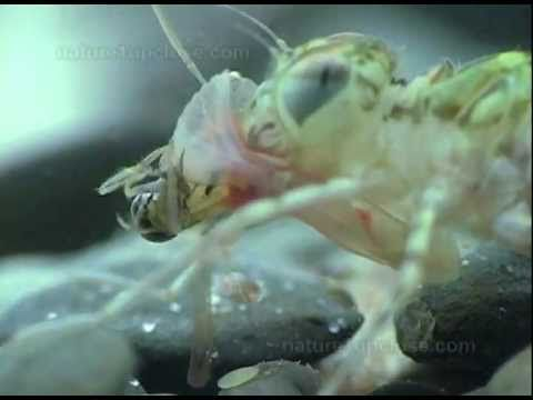 Dragonfly larvae hunting backswimmers.. really cool video. posted on the blog of dragonflywoman.