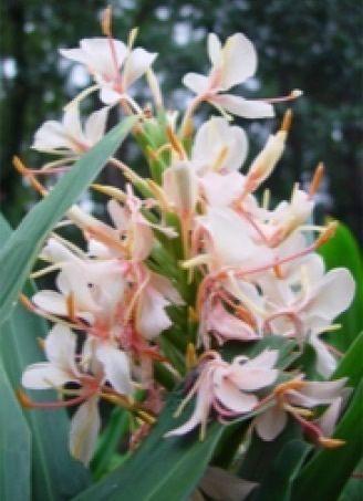 Hedychium xSamshiri