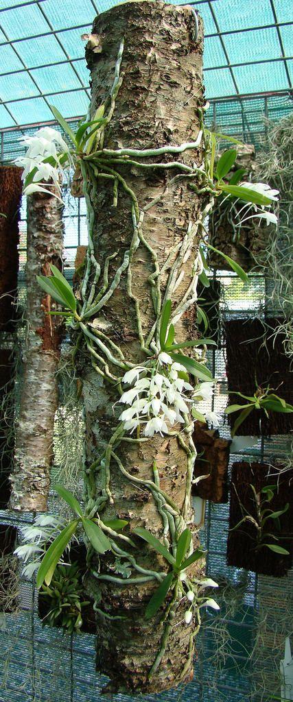 Mystacidium brayboniae