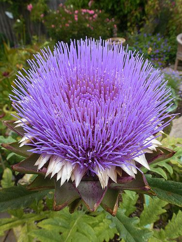 Artichoke bloom - Cynara cardunculus 'Opera' [Family: Asteraceae]; by anniesannuals, via Flickr