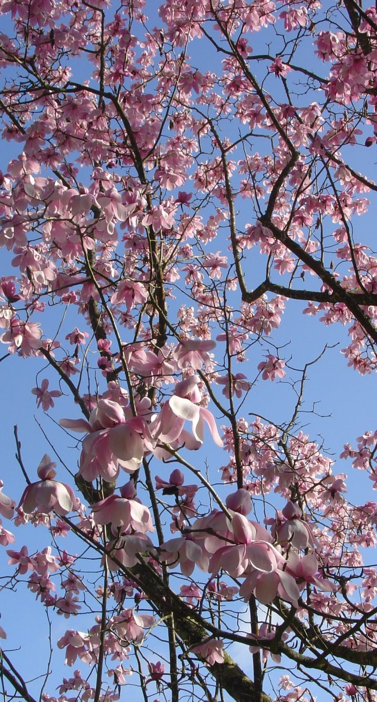 We love looking at our #magnolia trees from all angles. Here's some welcome blue sky and pink flowers at #Glendurgan #near #Falmouth in #Cornwall  #Spring #garden #flowers