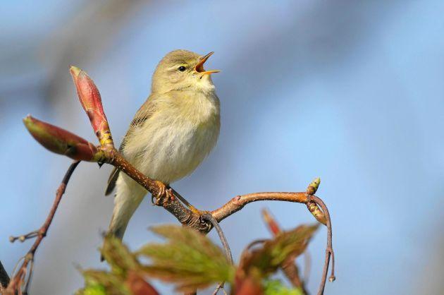 Forskning visar: Här är fågeln vars kvitter bäst minskar din ...