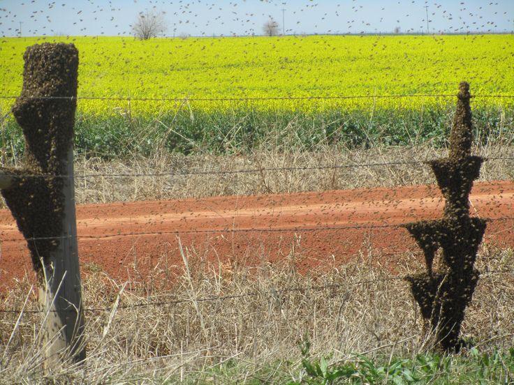 Canola Pollination