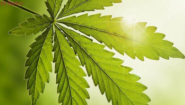 Marihuana prospívá zdraví? Vědci z WHO promluvili