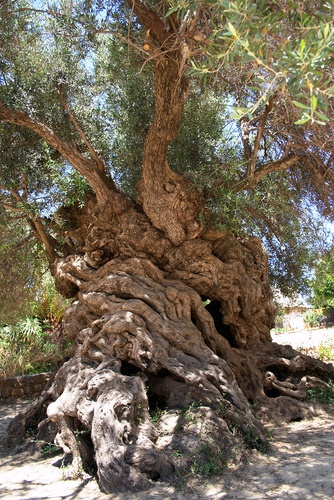 Ancient Olive Tree; Ano Vouves Crete, Greece  Probably 3000 years old! #travel #mediterranean #adventure