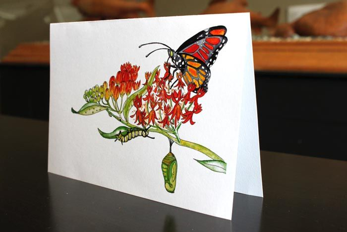 Monarch Lifecycle - art by Laura Timmermans (Pollinators)