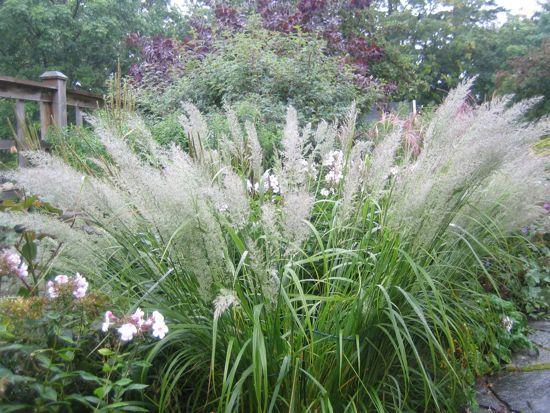 Diamantr r gr s tr dg rd pinterest gardens grasses for Tall grass garden plants