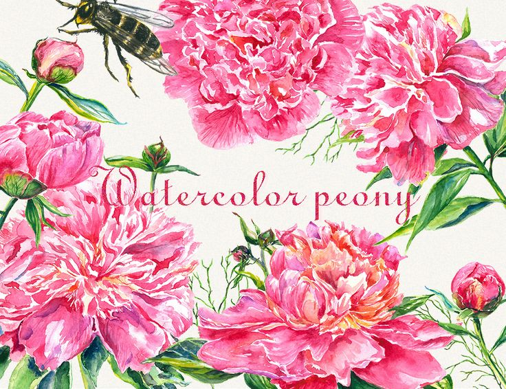 peony clipart, peonies, watercolor flower