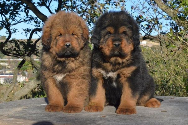 Tibetan Mastiff | Mastino Tibetano - Tibetan mastiff kennel ...