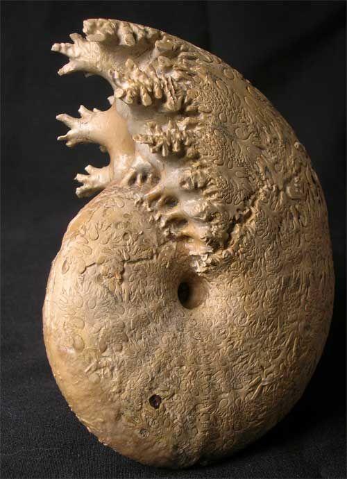 Phylloceras heterphyllum ammonite