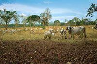 Algunos �rboles dispersos que brindan sombra al ganado, son con frecuencia el �nico vestigio de los extensos bosques secos que existieron en gran parte de la planicie del Caribe colombiano.