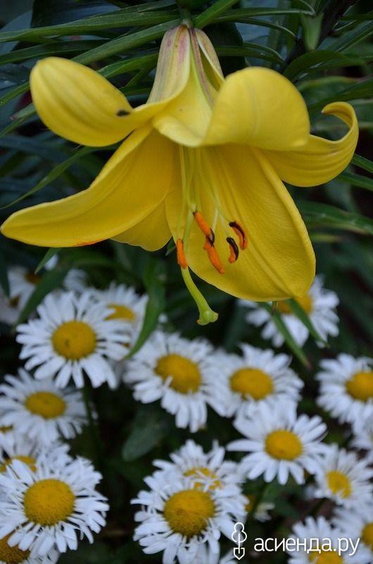 Компаньоны лилий: Группа Клумбы и цветники