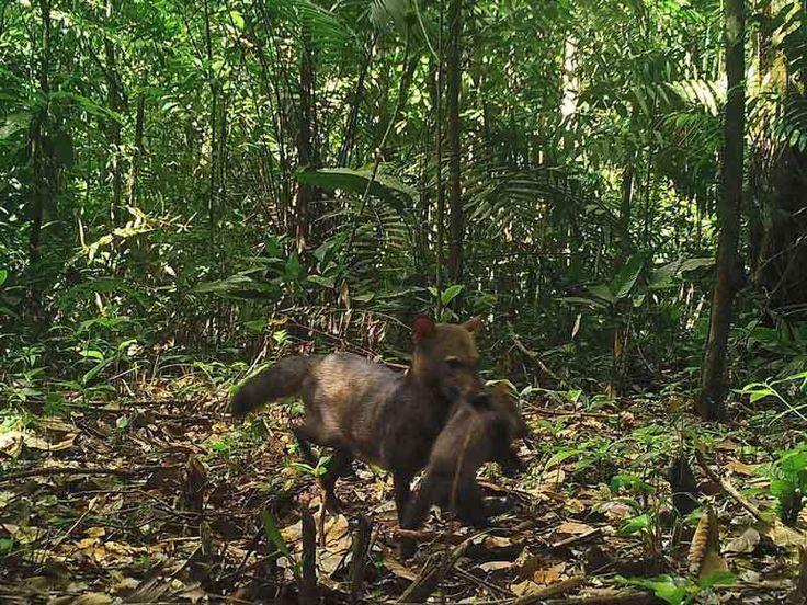 幻のジャングル犬の親子を撮影、おそらく初、アマゾン