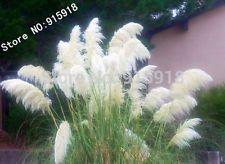 400pcs Ornamental WHITE PAMPAS GRASS Cortaderia Selloana Flower Seeds Garden dec
