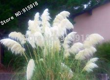 400pcs Ornamental WHITE PAMPAS GRASS Cortaderia Selloana Flower Seeds Garden dec