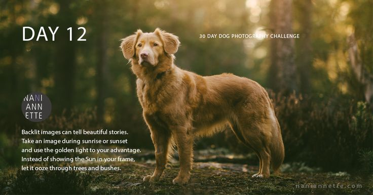 Day 12 of 30 Day Dog Photography Challenge  Backlit images can tell beautiful stories.  Take an image during sunrise or sunset  and use the golden light to your advantage.  Instead of showing the Sun in your frame,  let it ooze through trees and bushes.   Join the fun and share your photos in Instagram using #30daydogchallenge.
