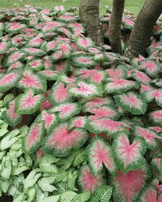 For creating dramatic sweeps of color, few foliage plants hold a candle to caladiums. They're a living paint box of pigment and pattern. Different varieties feature colorful doses of green with green, pink, red, apricot, lime, fuchsia, burgundy, white and yellow, in leaves with solid colors or mixed shades with spots, outlines, flares or blushes.