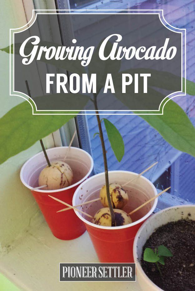 How To Grow An Avocado Tree | Homesteading Tips | A Great Guide, Tips And Tricks For A Successful Tree Planting | Self-Sufficiency by Pioneer Settler at http://pioneersettler.com/grow-an-avocado-tree/