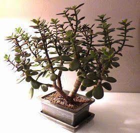 Les crassulas sont une variété de plantes succulentes, appelées aussi plantes grasses, les plus faciles qui soient à entretenir. Elles...