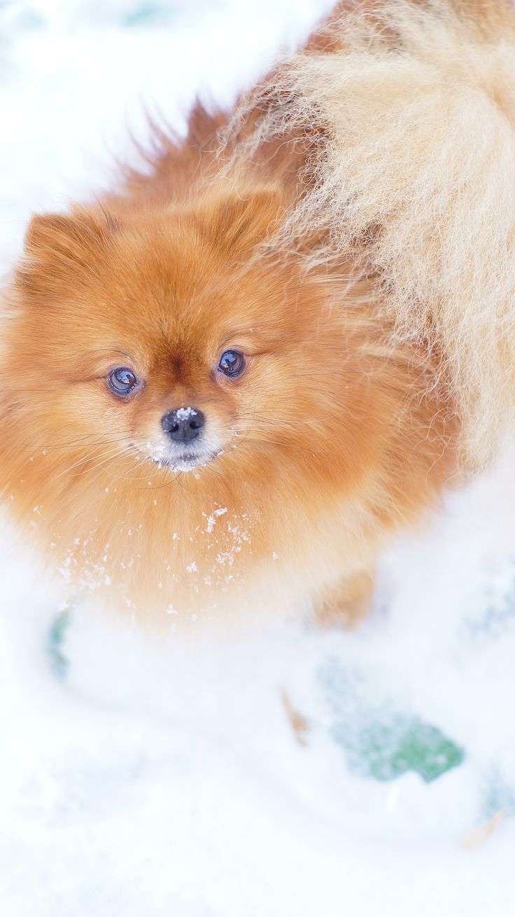 Snow Dog. Mini Spitz. Pomeranian.