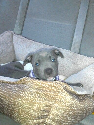 Blue gotti pitbull how cute is my puppy