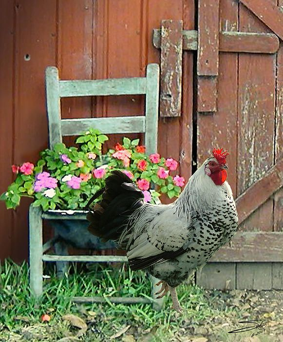 Rooster By The Barn