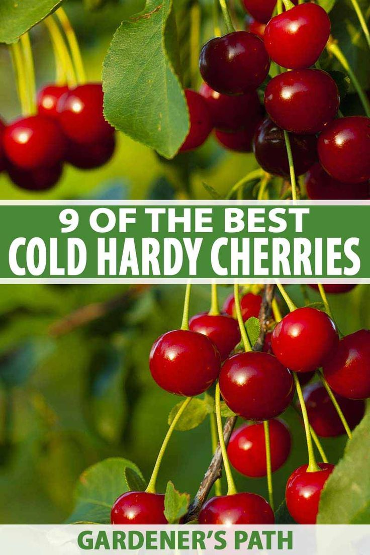 9 Of The Best Cold Hardy Cherry Trees In 2020 Cherry Tree Sour Cherry Tree Dwarf Cherry Tree