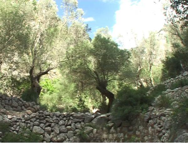 Im Olivar auf Mallorca stehen zum Teil über 1000-Jahre alte Olivenbäume. Die  mallorquinische Bevölkerung geht auch in die Olivare um zu feiern.
