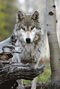 A majestic gray wolf - National Geographic photo taken by Jim And Jamie Dutcher