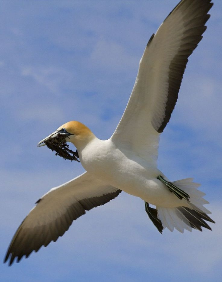 Gannet at Cape Kidnappers & 32 best View a Clue images on Pinterest | Crossword Animals and ... 25forcollege.com