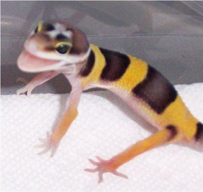 Hatchling Leopard Gecko Care   The Gecko Spot