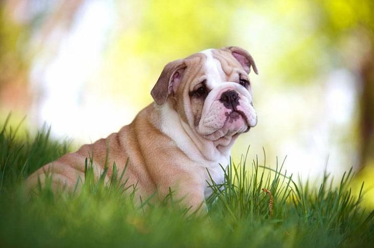 """""""The cat sez I'm not very cute...what do you think?""""... Click on this #Bulldog #puppy image to see more of the cutest, pinable #dog pictures"""