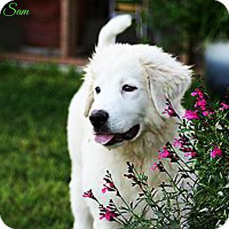 6/21/15 State of Texas, TX - Great Pyrenees Mix. Meet Sam, a puppy for adoption. http://www.adoptapet.com/pet/13217685-state-of-texas-texas-great-pyrenees-mix