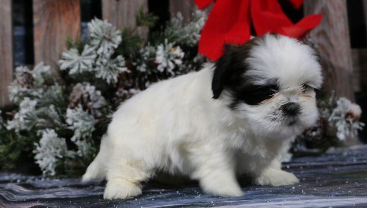 Aww Devin A Male Akc Shih Tzu Puppy For Sale In Nappanee In