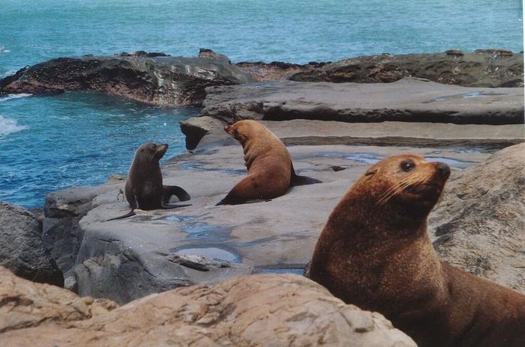 Harp Seals near Dunedin.