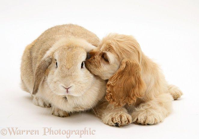 Pets: Buff American Cocker Spaniel pup with rabbit photo