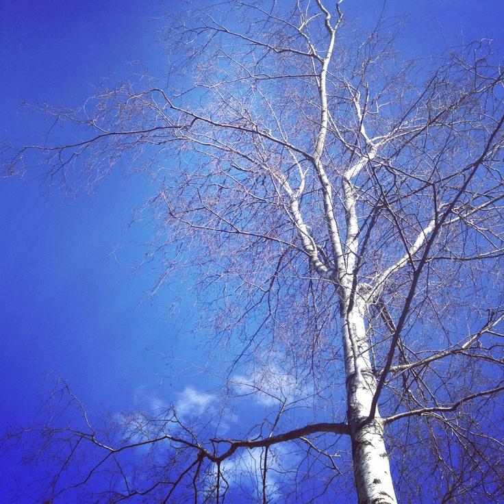 Beautiful tree and blue sky, in Gislev, Fyn, Denmark.