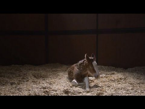 """2013 Budweiser Super Bowl Ad — The Clydesdales: """"Brotherhood"""""""