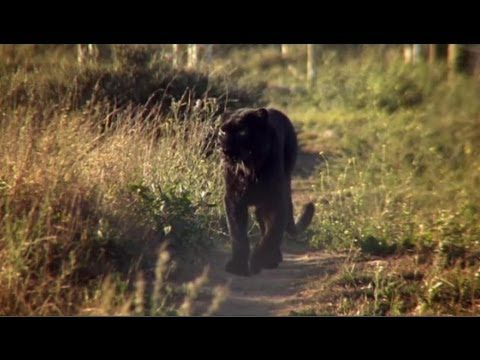 Your Friday Heart Opener: The Panther That Learned Forgiveness