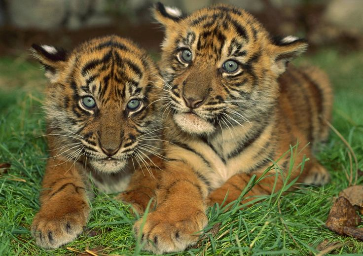 Two baby tigers :-)