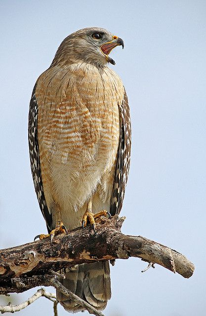 Red Shouldered Hawk Calling Out