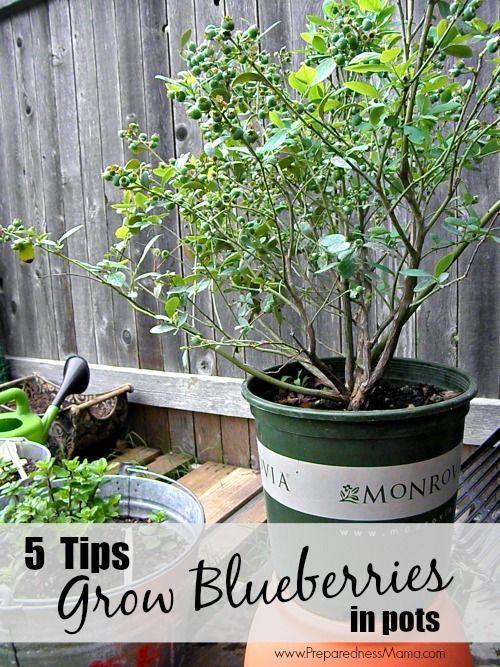 5 Tips to Grow Blueberries in Pots | PreparednessMama