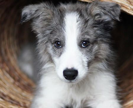border collie puppy I want this lillic. How do I post my pictures of my collies?