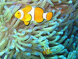 This is the fish from the movie ''Nemo''  The Ocellaris Clownfish, Clownfish or False Percula Clownfish (Amphiprion ocellaris) is a popular aquarium fish.