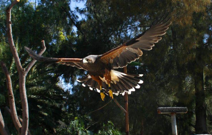 En el Zoológico de Aragón podrás ver surcar el cielo a de diversas aves en el área de vuelo.   ¡Visita Aragón!
