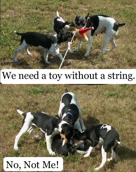 Jack as a chew toy!  #funny, #dog, #humor