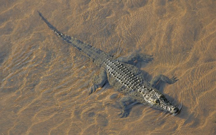 Cocodrilo del Nilo (Crocodylus niloticus)
