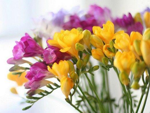 Капский ландыш — Фрезия. Изящные ароматные трубчатые цветки фрезии, окрашенные в нежные пастельные тона, выстроены в рядок на тонком прочном цветоносе высотой до 40—50 см. Эти оригинальные соцветия оттеняются ремневидными длинными (до 20 см) зелеными листьями. Букетик душистых фрезий — замечательный подарок по любому поводу, причем цветы сохраняются в вазе 2 недели и более. Фрезия — многолетнее травянистое клубнелуковичное растение семейства ирисовые родом из Южной Африки. Фото: ©…