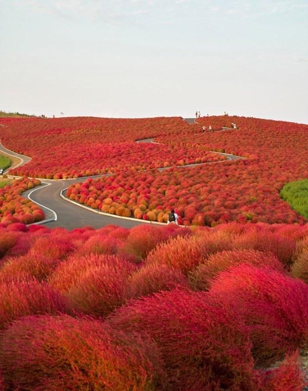 日立海濱公園紅葉 - 日本
